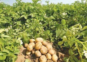 उत्पादन बढाउन सामूहिक आलु लगाउँदै रामपुरका कृषक