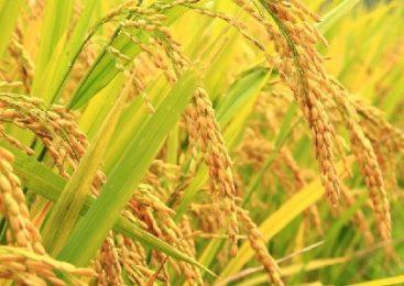 धानको मूल्य १० प्रतिशत बढेपछि धान बेच्न पालो कुर्दै किसान