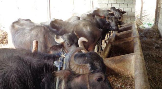 दूध बिक्री नहुँदा भैँसी बेच्दै किसान