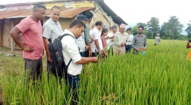 किसानले क्षतिपूर्तिका लागि बीउ विक्रेताविरुद्ध मुद्दा लड्नुपर्ने