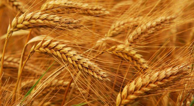 किसानलाई गहुँ भित्र्याउने चिन्ता