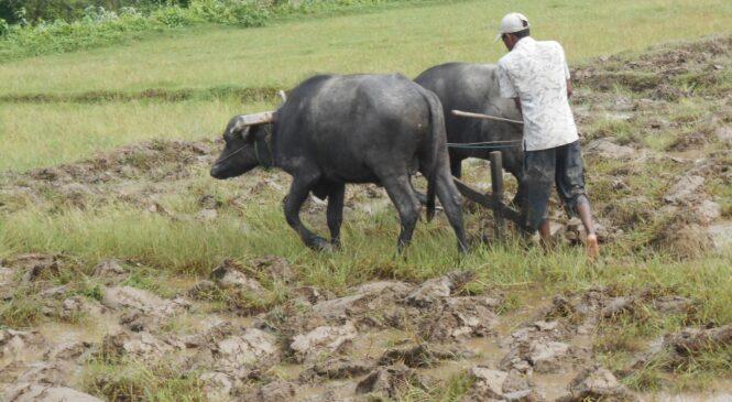 उतिबेलाको खेती र अचेलको खेती