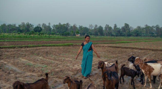 विवाहपछि दाइजोको रुपमा छोरीलाई बाख्रा : बाख्रा पालनको आर्थिक महत्व (विचार)